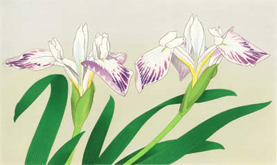 Japanese Iris paintings and prints by Chinami NAKAJIMA