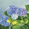 Japanese Hydrangea paintings and prints